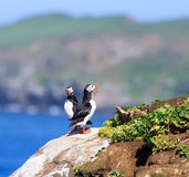 Atlantic Puffin (Fratercula arctica) on cliff top Stock Photos