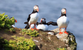 Atlantic Puffin (Fratercula arctica) on cliff top Stock Images