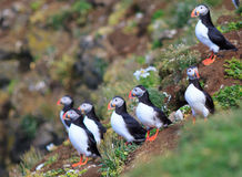 Atlantic Puffin (Fratercula arctica) on cliff top Royalty Free Stock Image