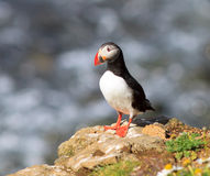 Atlantic Puffin (Fratercula arctica) on cliff top Stock Photography