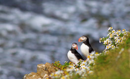 Atlantic Puffin (Fratercula arctica) on cliff top Royalty Free Stock Images