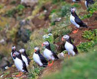 Atlantic Puffin (Fratercula arctica) on cliff top. In Grimsey, Iceland royalty free stock images