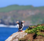 Atlantic Puffin (Fratercula arctica) on cliff top. In Grimsey, Iceland stock image