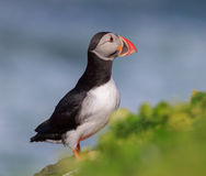 Atlantic Puffin (Fratercula arctica) on cliff top Royalty Free Stock Photography