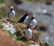 Atlantic Puffin (Fratercula arctica) on cliff top Stock Photos