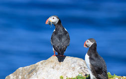 Atlantic Puffin (Fratercula arctica) on cliff top. In Grimsey, Iceland royalty free stock photos