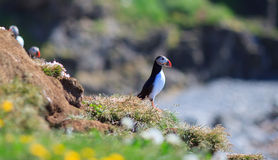 Atlantic Puffin (Fratercula arctica) on cliff top Stock Photo