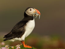 Atlantic puffin (Fratercula arctica). Close up of a puffin with a beak full of sandeels in summer, UK stock image