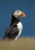 Atlantic puffin (fratercula arctica) Stock Photos