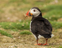 Atlantic puffin (Fratercula arctica). Close-up of a puffin with nesting material in the beak, Scotland, UK royalty free stock photography