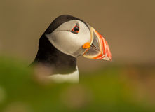 Atlantic puffin (Fratercula arctica). Close-up of Atlantic puffin, UK royalty free stock image