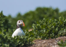 Atlantic puffin fratercula arctica Royalty Free Stock Images