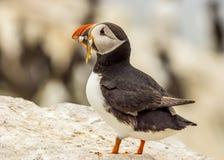 Atlantic puffin fratercula arctica Stock Images
