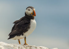 Atlantic puffin fratercula arctica Stock Photos