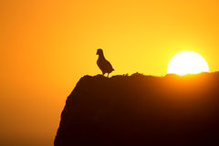 Atlantic puffin (fratercula arctica). Enjoys sunset in Fair Isle, Shetland royalty free stock photography