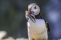 Atlantic puffin, Fratercula arctica,with fishes in beak. stock photos