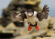 Atlantic puffin (Fratercula arctica). In flight, Noss, Scotland, UK stock image