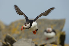 Atlantic Puffin (Fratercula arctica) in flight Royalty Free Stock Photography