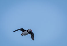Atlantic Puffin Fratercula arctica flys through the air with a beakful of silver fish. Off the coast of Maine Stock Photos