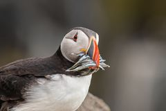 Atlantic Puffin Fratercula arctica at isle of May,Scotland. Close up of an Atlantic puffin Fratercula arctica  with mouth full of sand eels stock images