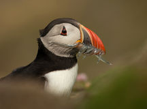 Atlantic puffin (Fratercula arctica). Atlantic puffin with mouth full of sand eels royalty free stock image