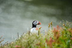 Atlantic puffin Fratercula arctica near Dyrholaey in Iceland. Looking aside Stock Photo