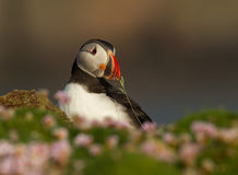Atlantic puffin (Fratercula arctica). Atlantic puffin with nesting material in the beak stock images