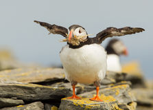 Atlantic puffin (Fratercula arctica) Royalty Free Stock Photography