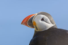 Atlantic puffin (Fratercula arctica) portrait Stock Images