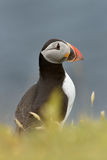 Atlantic puffin Fratercula Arctica portrait. Royalty Free Stock Photos