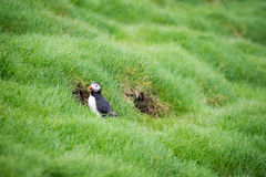 Atlantic puffin, Fratercula arctica. Atlantic puffins, Fratercula arctica sitting on grass on the Faroe Islands in front of its burrow Stock Images