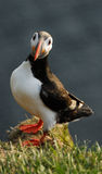 Atlantic puffin Fratercula arctica in Raudinupur, Iceland Royalty Free Stock Images