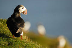 Atlantic puffin Fratercula arctica in Raudinupur, Iceland Stock Photo