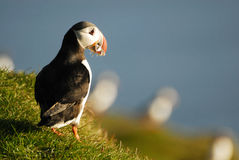 Atlantic puffin Fratercula arctica in Raudinupur, Iceland Stock Images