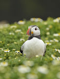 Atlantic Puffin Royalty Free Stock Images