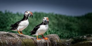This is the Atlantic Puffin Fratercula arctica seen here returning from a foraging trip for food with its favourite food royalty free stock images