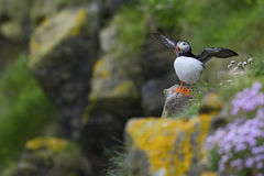 Atlantic Puffin - Fratercula arctica, Shetlands, United Kingdome. Atlantic Puffins on the cliff in Shetlands Stock Images