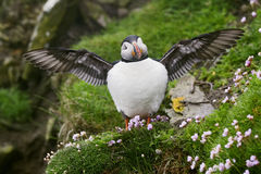 Atlantic Puffin - Fratercula arctica, Shetlands, United Kingdome. Atlantic Puffins on the cliff in Shetlands Royalty Free Stock Photo