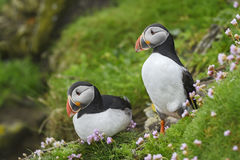 Atlantic Puffin - Fratercula arctica, Shetlands, United Kingdome. Atlantic Puffins on the cliff in Shetlands Royalty Free Stock Images