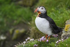 Atlantic Puffin - Fratercula arctica, Shetlands, United Kingdome. Atlantic Puffins on the cliff in Shetlands stock photography