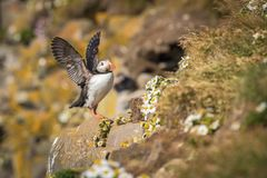 The Atlantic puffin, Fratercula arctica is sitting in the grass very clouse to its nesting hole. It is typical nesting habitat in stock photos