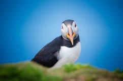 Atlantic Puffin. (Fratercula arctica), Skomer island, Wales, UK Royalty Free Stock Images