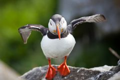 Atlantic Puffin Fratercula arctica spreads its wings with diffused green grass background. Common Paffin. Norway. Atlantic Puffin Fratercula arctica with stock photography