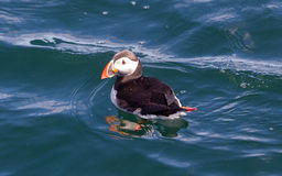 Atlantic Puffin (Fratercula arctica) swimming in the water stock photos