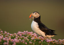 Atlantic puffin (Fratercula arctica) Stock Photos