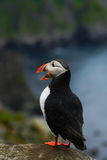 Atlantic Puffin, Fratercula artica, Arctic black and white cute bird with red bill sitting on the rock, nature habitat, Iceland. P Royalty Free Stock Photography