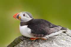 Atlantic Puffin, Fratercula artica, artic black and white cute bird with red bill sitting on the rock, nature habitat, Iceland. Wi Stock Photography