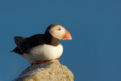 Atlantic Puffin, Fratercula artica, artic black and white cute bird with red bill sitting on the rock, nature habitat, Iceland. Wi Stock Image