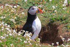 Atlantic puffin fratercula at the entrance to it`s burrow. Puffins are small species of alcids or auks with brightly coloured beaks and nest underground in Stock Photos