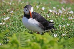 Atlantic puffin fratercula in a field of wild flowers and grass. Puffins are small species of alcids or auks and nest underground in burrows Royalty Free Stock Photo
